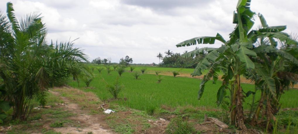 Pohon kelapa sawit yang ditanam petani di area persawahan